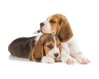 Cucciolo sveglio del cane da lepre Immagine Stock Libera da Diritti