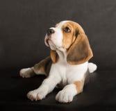 Cucciolo sveglio del cane da lepre Immagini Stock Libere da Diritti