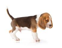 Cucciolo sveglio del cane da lepre Fotografia Stock Libera da Diritti