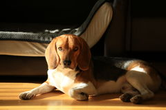 Cucciolo sveglio del cane da lepre Fotografie Stock