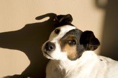 Cucciolo sveglio del cane del Jack Russell Terrior Fotografia Stock