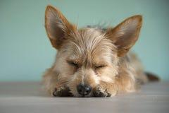 Cucciolo sveglio del cane della miscela con un occhio del bleu immagine stock