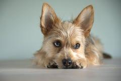 Cucciolo sveglio del cane della miscela con un occhio del bleu fotografie stock libere da diritti