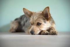 Cucciolo sveglio del cane della miscela con un occhio del bleu fotografia stock libera da diritti