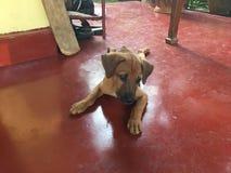 Cucciolo sveglio del cane sul pavimento rosso Immagine Stock Libera da Diritti