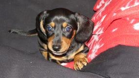 Cucciolo sveglio del dachshund Fotografia Stock