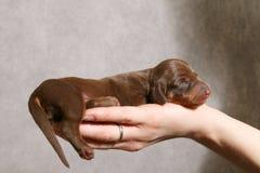 Cucciolo sveglio del dachshund sulla mano Fotografie Stock Libere da Diritti
