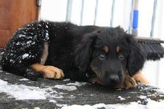 Cucciolo sveglio del hovawart con gli occhi di bambi immagine stock