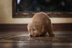 Cucciolo sveglio del hovawart dell'oro immagini stock