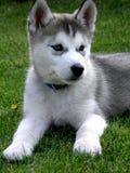 Cucciolo sveglio del husky Fotografie Stock Libere da Diritti