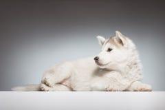 Cucciolo sveglio del husky bello Fotografie Stock Libere da Diritti