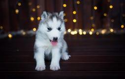 Cucciolo sveglio del husky, con una ghirlanda del nuovo anno sui precedenti Fotografie Stock