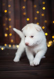 Cucciolo sveglio del husky, con una ghirlanda del nuovo anno sui precedenti Immagine Stock Libera da Diritti