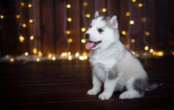 Cucciolo sveglio del husky, nei precedenti Fotografia Stock Libera da Diritti