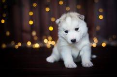 Cucciolo sveglio del husky, nei precedenti Immagine Stock