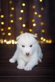 Cucciolo sveglio del husky, nei precedenti Fotografia Stock