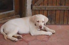 Cucciolo sveglio del Labrador Immagine Stock Libera da Diritti