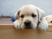 Cucciolo sveglio del Labrador Fotografie Stock