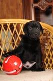 Cucciolo sveglio del labrador con la sfera rossa Fotografie Stock Libere da Diritti