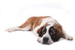 Cucciolo sveglio del purosangue di Bernard del san fotografia stock