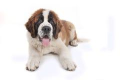 Cucciolo sveglio del purosangue di Bernard del san fotografie stock
