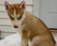 Cucciolo sveglio del ritratto del husky siberiano che si siede sull'erba in autunno fotografia stock