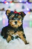 Cucciolo sveglio del Terrier di Yorkshire fotografie stock