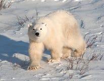 Cucciolo sveglio dell'orso polare Fotografie Stock