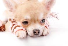 Cucciolo sveglio della chihuahua con il primo piano di lana a strisce delle ghette su fondo bianco Fotografia Stock