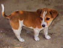 Cucciolo sveglio della miscela di colore di Brown e di bianco piccolo fotografia stock libera da diritti