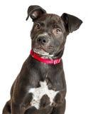 Cucciolo sveglio della miscela di Labrador dell'incrocio Immagine Stock Libera da Diritti