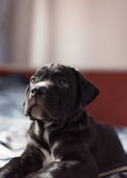 Cucciolo sveglio della razza di Cane Corso Immagine Stock Libera da Diritti