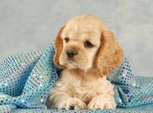 Cucciolo sveglio dello spaniel fotografie stock