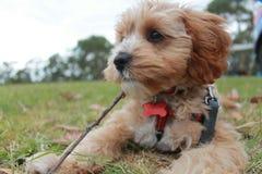 Cucciolo sveglio di Cavoodle che mastica un bastone nell'erba Immagini Stock