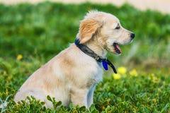 Cucciolo sveglio di golden retriever che esplora la spiaggia Fotografia Stock