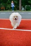 Cucciolo sveglio di Pomeranian Fotografie Stock Libere da Diritti
