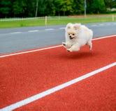 Cucciolo sveglio di Pomeranian Immagine Stock Libera da Diritti