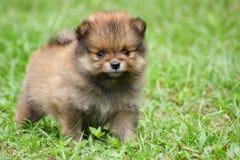 Cucciolo sveglio di Pomeranian Fotografia Stock Libera da Diritti