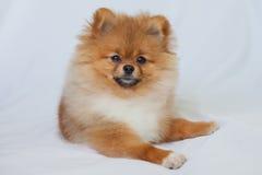 Cucciolo sveglio di Pomeranian che sorride su un fondo bianco Fotografia Stock