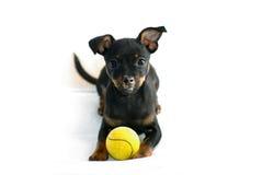 Cucciolo sveglio di Russo giocattolo-Terrier Fotografie Stock