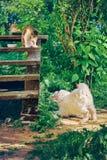 Cucciolo sveglio di un cane pirenaico della montagna che gioca con un gatto che si siede su un punto di un portico della casa di  fotografia stock