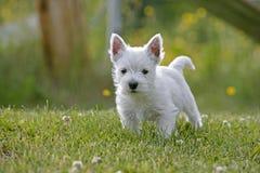 Cucciolo sveglio di Westie nell'iarda Fotografie Stock Libere da Diritti