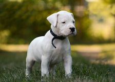Cucciolo sveglio Dogo Argentino in erba fotografie stock
