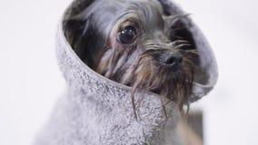 Cucciolo sveglio minuscolo coperto nella fine della spugna su Piccolo cane alla moda bagnato che scuote dopo che il groomer lo ha stock footage