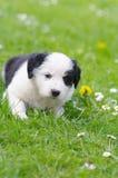 Cucciolo sveglio nel campo della margherita Fotografia Stock Libera da Diritti