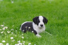 Cucciolo sveglio nel campo della margherita Immagine Stock Libera da Diritti