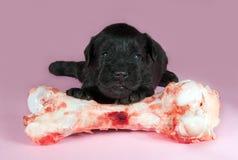 Cucciolo sveglio 2 settimane con l'osso Immagini Stock