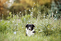 Cucciolo sveglio del Border Collie Fotografia Stock
