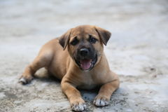 Cucciolo tailandese Immagini Stock Libere da Diritti