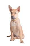 Cucciolo tailandese del ridgeback Fotografia Stock